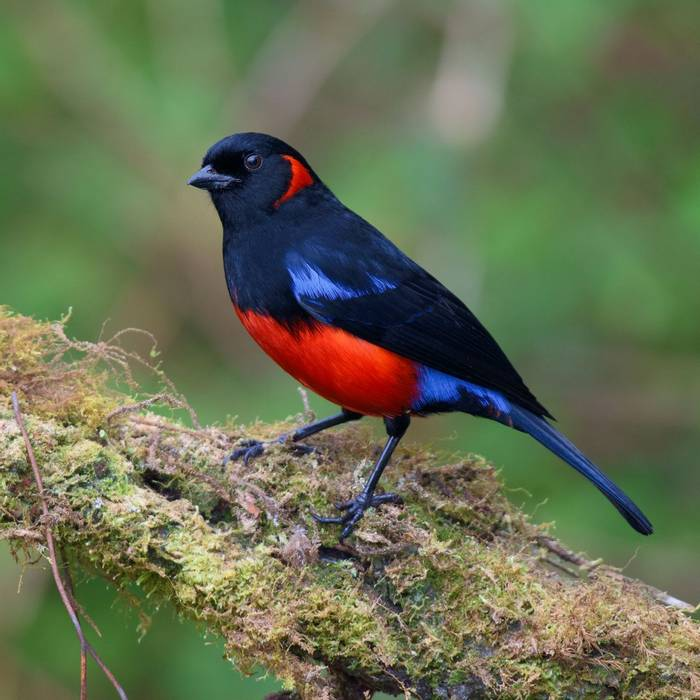 Scarlet-bellied Mountain Tanager, Peru shutterstock_1042851541.jpg