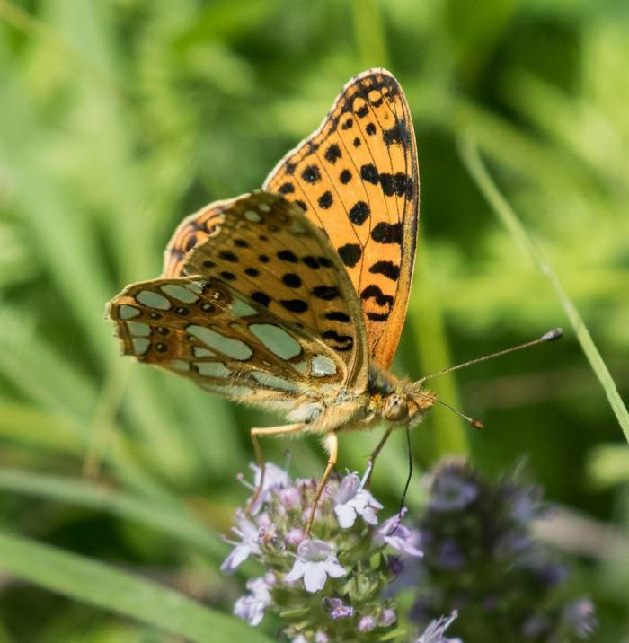 Queen of Spain Fritillary (Judith Rolfe)