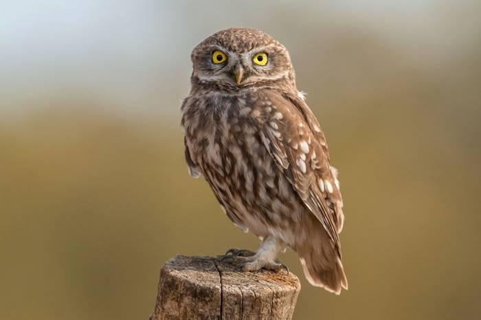 Little Owl, UK shutterstock_326981342.jpg
