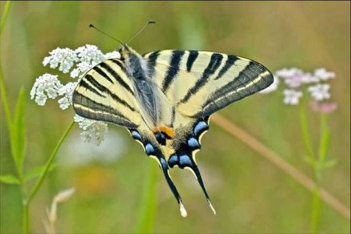 Scarce Swallowtail (Ken Button)