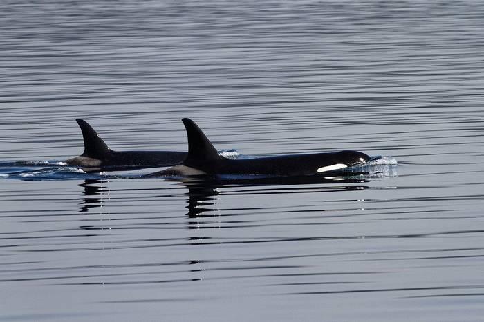 Orca (Martin Potter)