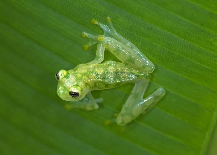 Reticulated Glass Frog, Panama shutterstock_37135876.jpg