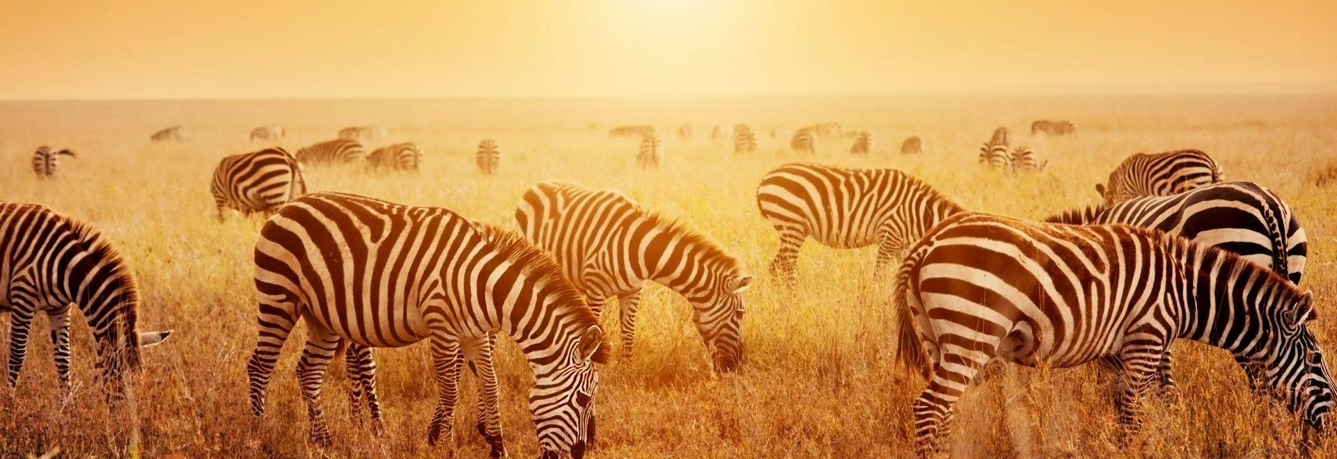 Shutterstock 173186834 Zebras At Sunset