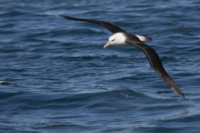 Black-browed Albatross shutterstock_142607791