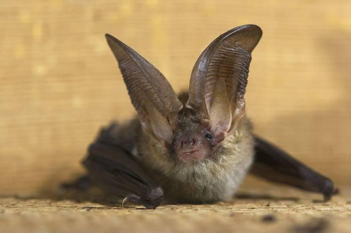 Brown Long-eared Bat Plecotus auritus, UK shutterstock_117018313.jpg