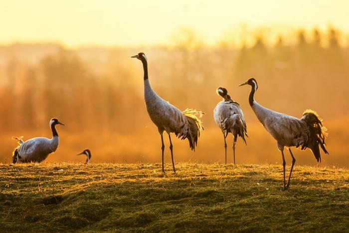 Common crane. shutterstock_184195787.jpg