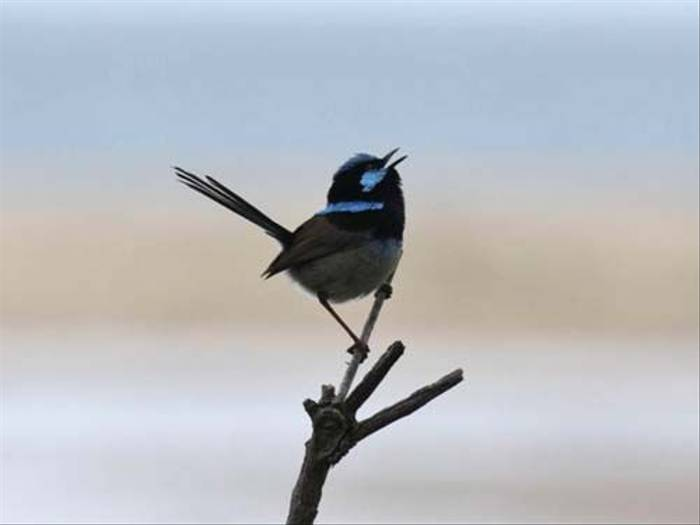 Superb Fairy Wren (Susan Jenkins)
