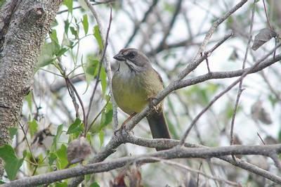Zapata Sparrow by Arturo Kirkonell