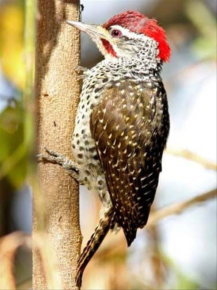 Nubian Woodpecker (Julia Casson)