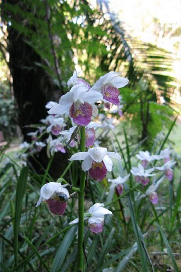 Gastrorchis humboltii