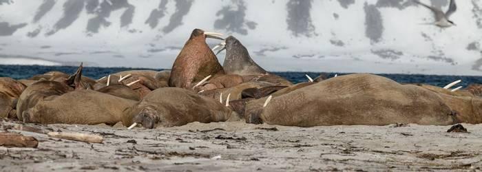 Walruses (Peter Stott).jpg