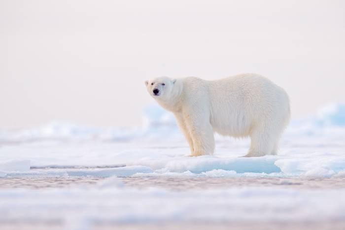 Polar Bear shutterstock_1357891877.jpg