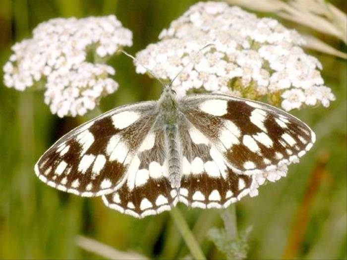 Marbled White (Tony Daniels)