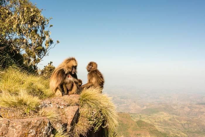 Gelada Baboon, Simien Mountains NP shutterstock_486651787.jpg