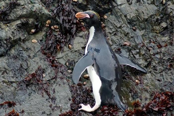 Macaroni Penguin (Rob Mileto)