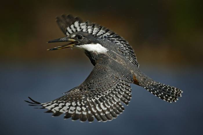 Ringed Kingfisher, costa rica shutterstock_241274077.jpg