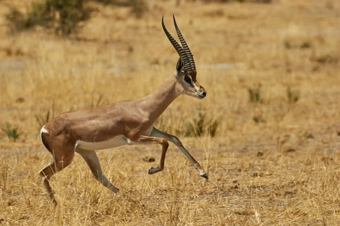 Grant'S Gazelle (Andrew Griffin)