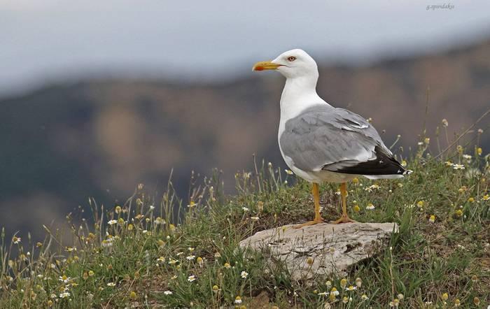 Yellow-legged Gull (Georgos Spiridakis)
