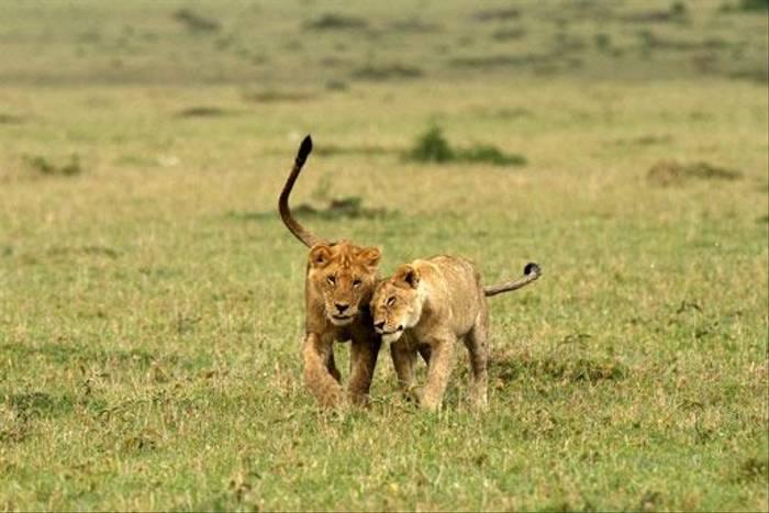 Lion cubs (Bret Charman)