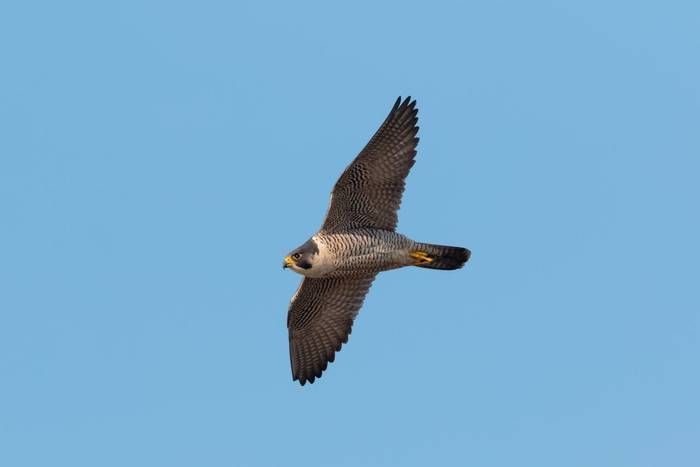 Peregrine Falcon, UK shutterstock_1066404494.jpg