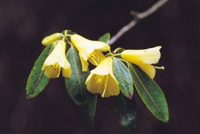 <i>Rhododendron cinnabarinum</i>