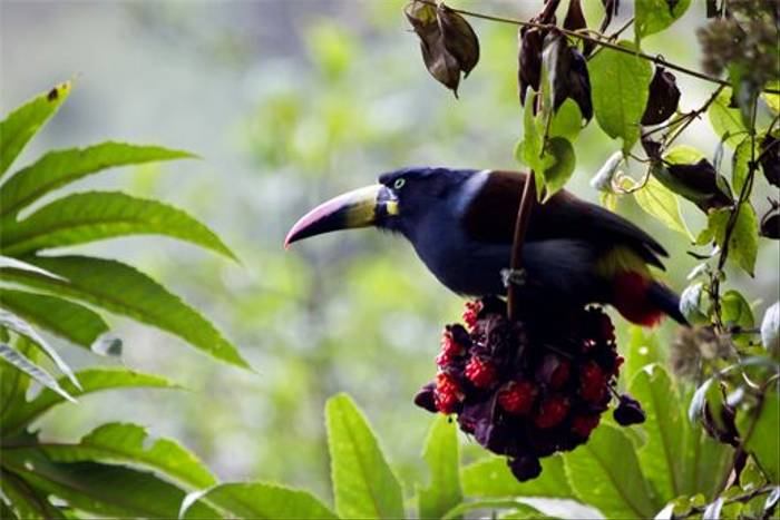 Grey-breasted Mountain Toucan (Mike and Karen Galtry)