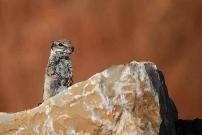Barbary Ground Squirrel (Atlantoxerus getulus) - Dan Kane