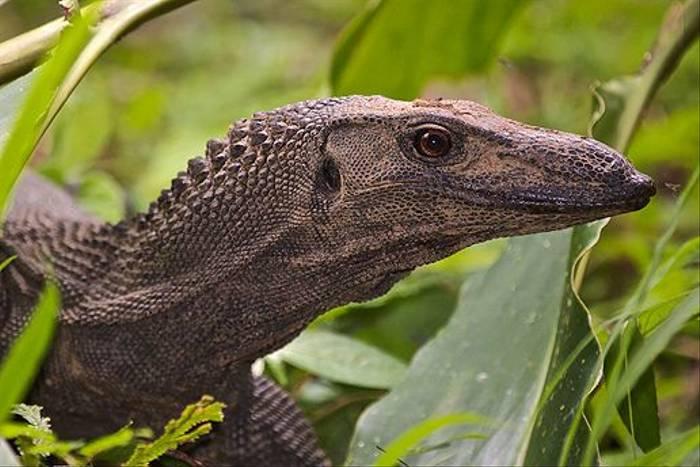 Water Monitor Lizard (Dani Free)