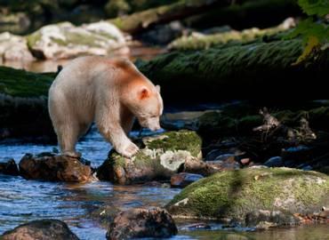 Spirit Bears, Grizzlies & Humpbacks - Cruising the Great Bear Rainforest