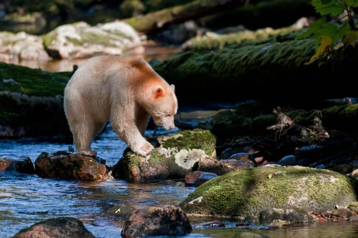 21 Spirit Bear (Paul Stanbury).jpg