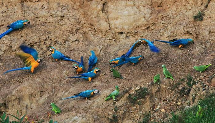 Blue and Yellow Macaw, Chestnut-fronted Macaw, Yellow-crowned Parrot, Mealy Parrot (Robert Davidson).JPG