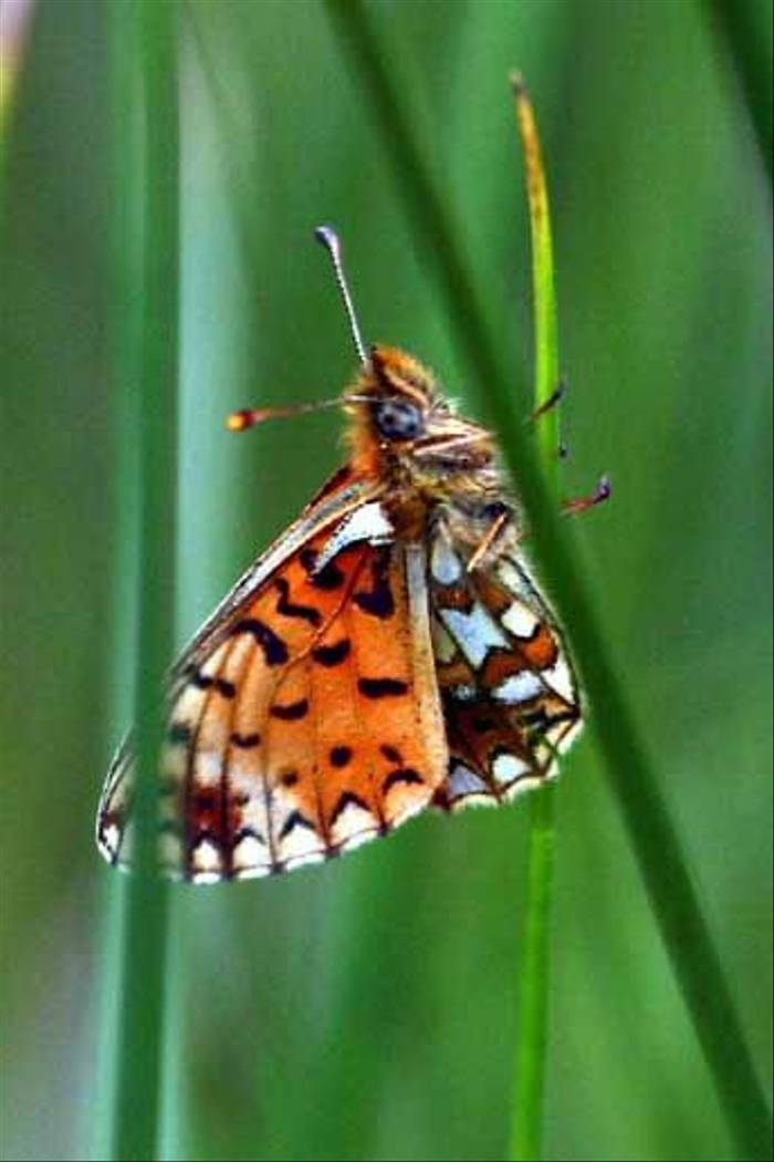 Small Pearl-boardered Fritillary (Peter Dunn)