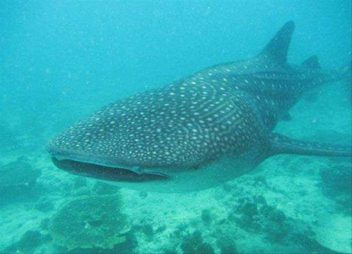 Whale Shark (Chas Anderson)