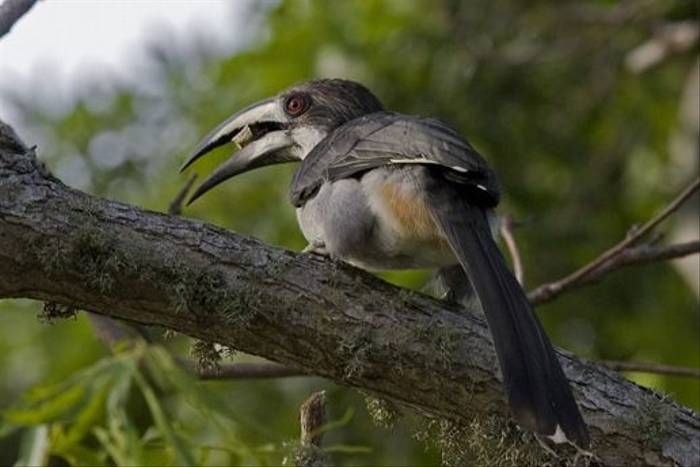 Sri Lanka Grey Hornbill - endemic (Colin Brown)