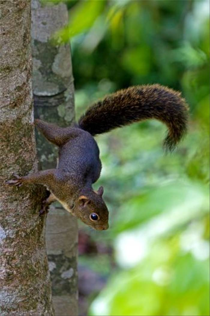 Amazonian Pygmy Squirrel (Mike and Karen Galtry)