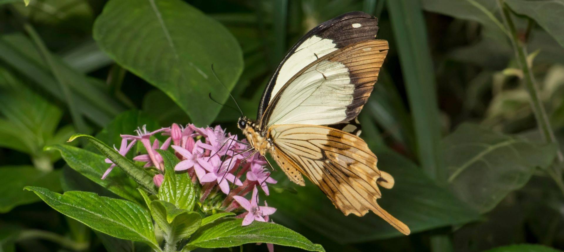 Mocker Swallowtail Shutterstock 1006212166