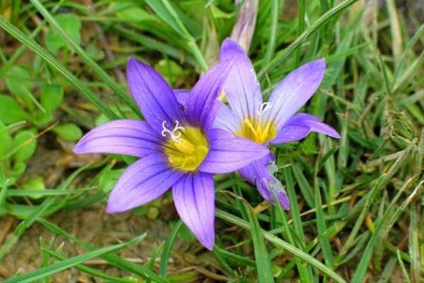 Viloet Romulea, Romulea bulbocodium (Paul Harmes)
