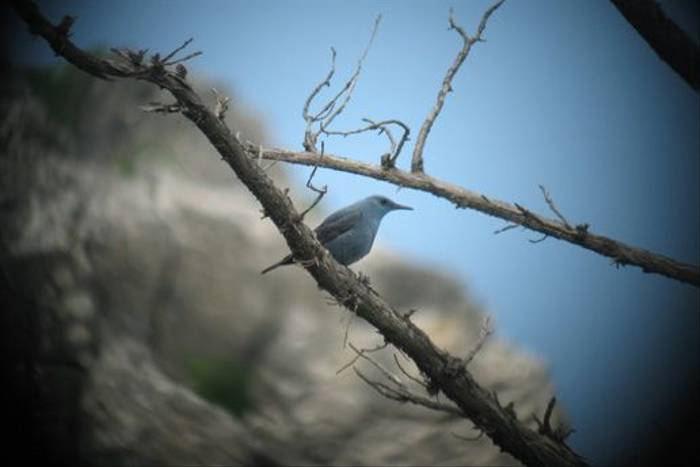 Blue Rock Thrush (Andy Harding)