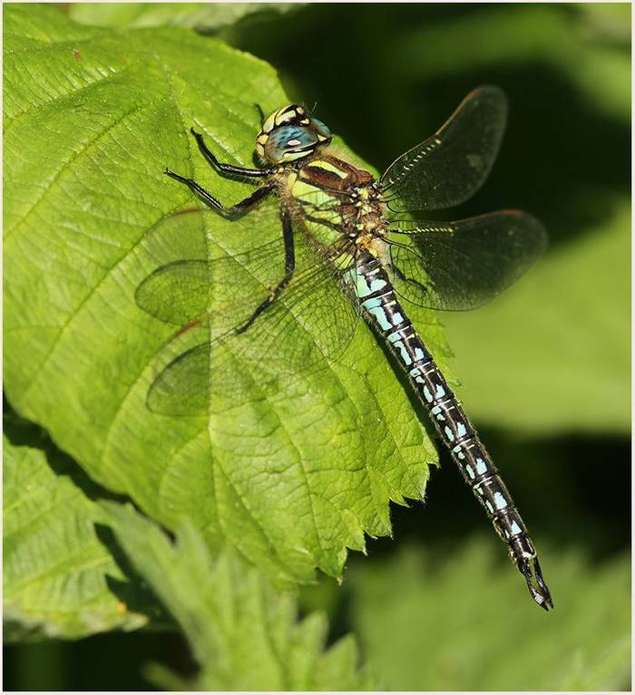 Hairy Dragonfly (Marc Heath).jpg