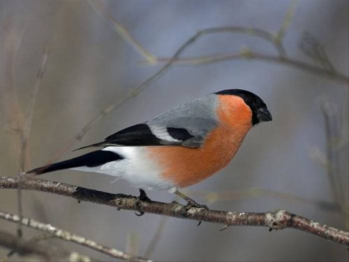 Bullfinch (Daniel Green)
