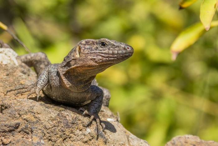 Gran Canaria Giant Lizard, Canary Islands shutterstock_770513812.jpg