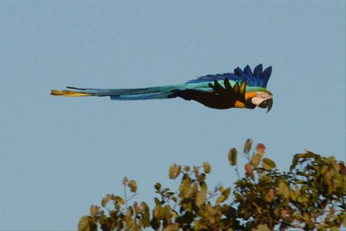 Blue-and-Yellow Macaw (Ian Bruce)