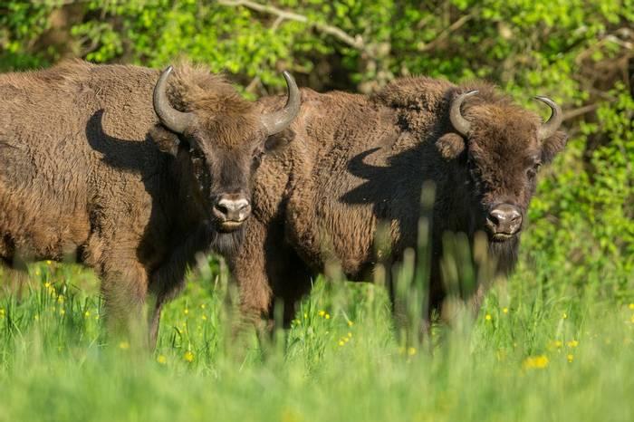 European-Bison,-Poland-shutterstock_1114438748.jpg
