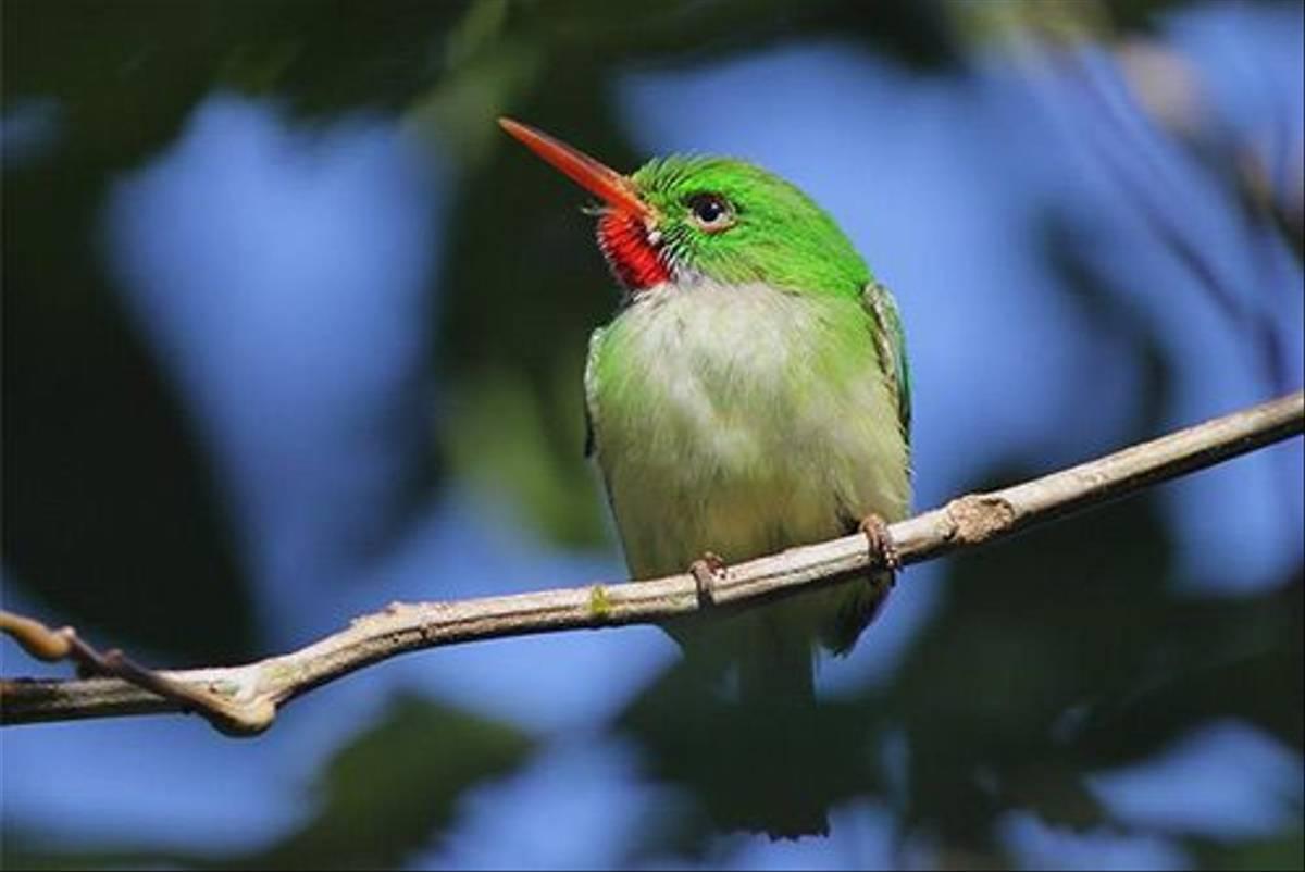 Jamaican Tody (2)