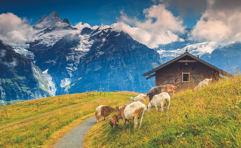 Goats grazing on the alpine green field,Grindelwald,Switzerland,Europe
