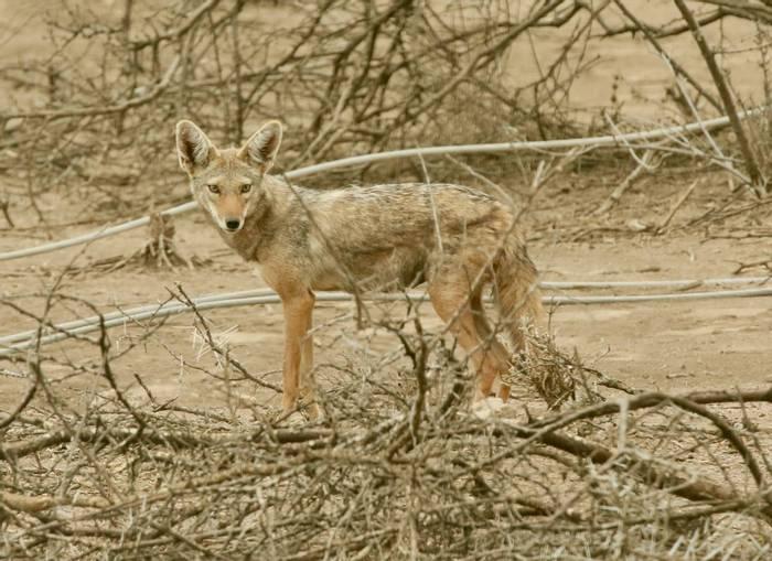Ethiopian Golden Wolf.jpeg
