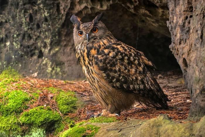 Eurasian-Eagle-owl-shutterstock_140816779.jpg