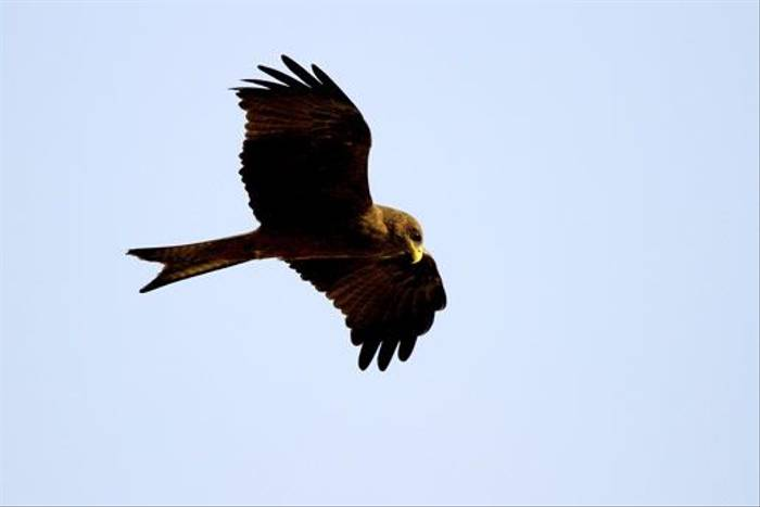 Yellow Billed Kite (Bret Charman)