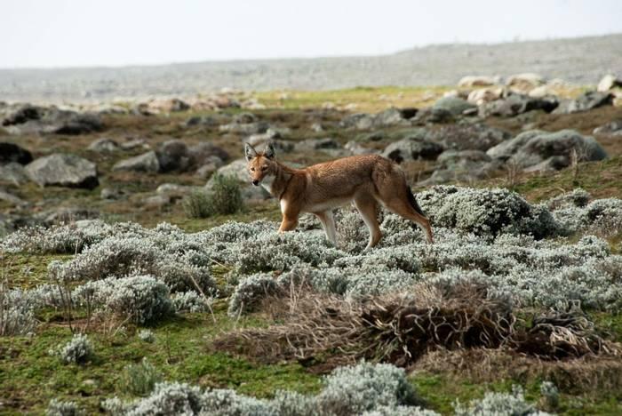 Ethiopian Wolf, Ethiopia Shutterstock 134381498