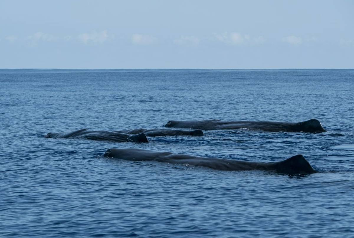 Sperm Whale Pod, Azores Shutterstock 754810237